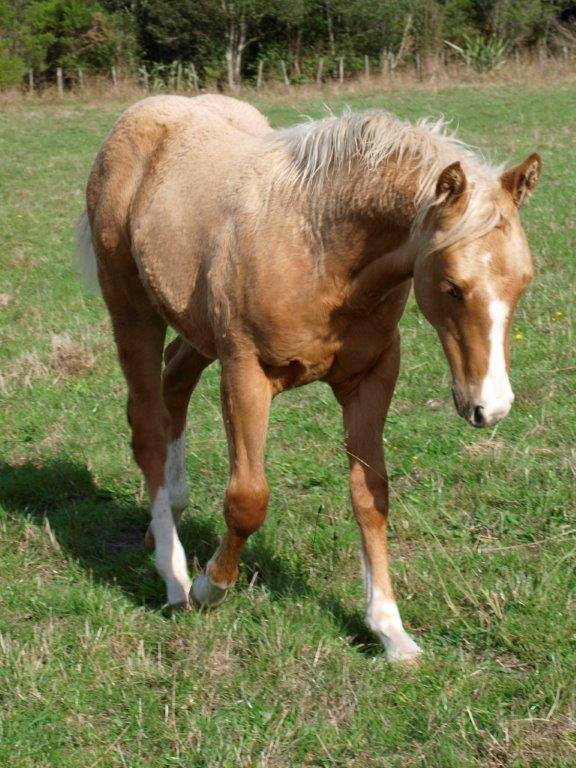 Palomino Colt Foal